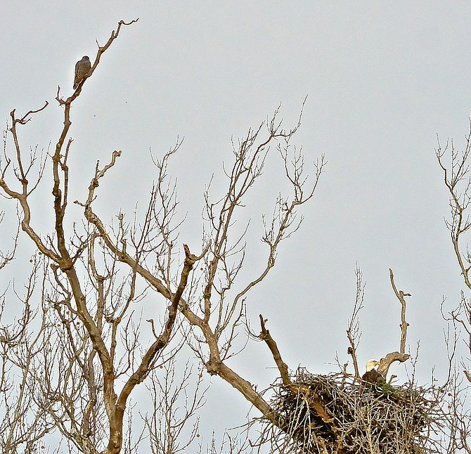 Juvenile Peregrine Falcon perched above Bald Eagle on nest at Riverbend Park.