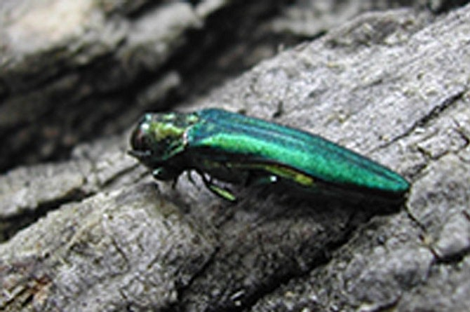The emerald ash borer is an invasive species that wreaked havoc on the ash trees in Fairfax County.