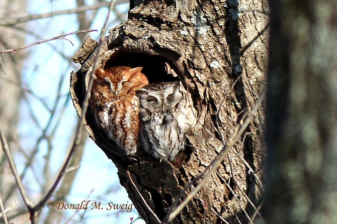 This pair of Eastern Screech-owls, presumably a mated pair, were roosting in the woodlands along the Potomac, south of Alexandria. (The rufous-morph is the female and the gray-morph is the male.)