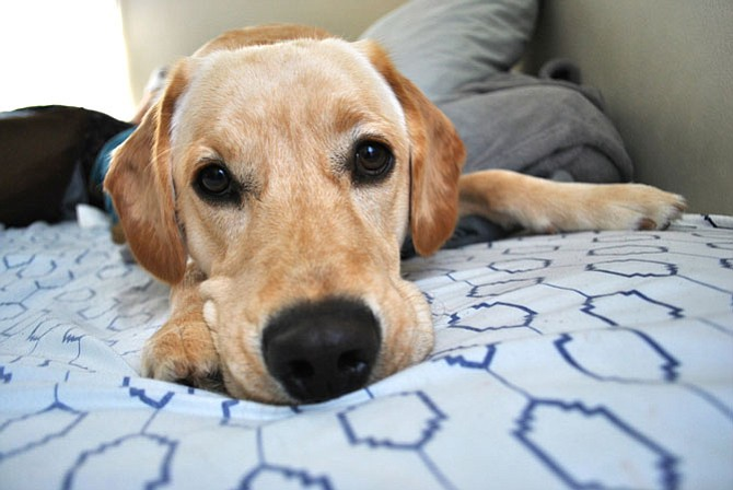 Gus: Gus, a 3-year-old yellow lab, has his own Instagram account (@gus_yellowlab) where he has over 300 followers. He has been featured on BuzzFeed and other various websites for dogs. He loves road trips, hockey (Washington Capitals), socks, anything that squeaks, snuggles, and cucumbers. — Michael and Tina McCrea