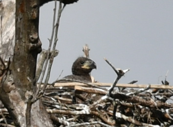 An eaglet peers over the nest.