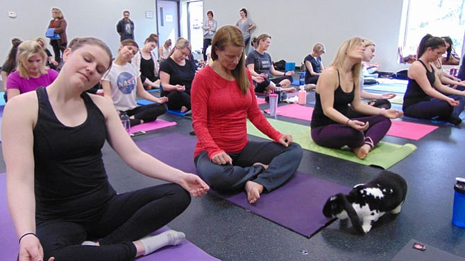 About 50 people took part in a Bunny Yoga event sponsored by the Friends of Rabbits at the Veterinary Holistic Center of Northern Virginia located in Springfield.