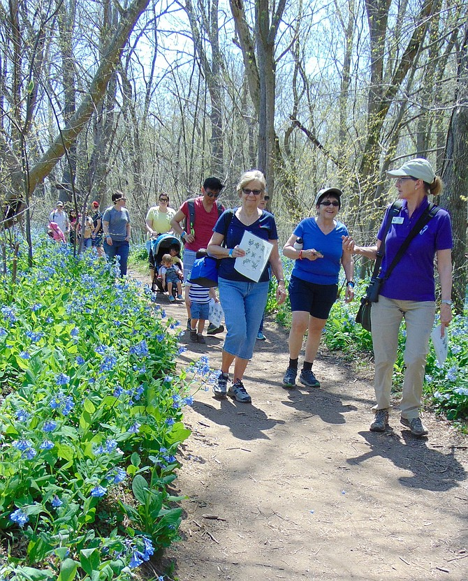 Naturalist Marijke Gate gives a walking tour of the Virginia bluebells and wildflowers at Riverbend Park in Great Falls during the Bluebell Festival.
