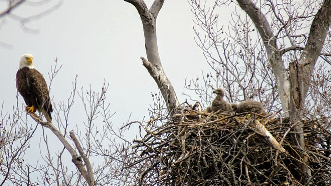 The male eagle has flown down the Potomac River, probably looking for food for the three growing chicks. The female eagle moves off the nest onto the sentry tree, and looks back at the nest where one of the chicks is looking back at her.
