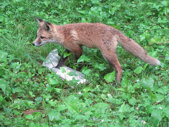 A fox kit investigates the Mount Vernon Gazette.