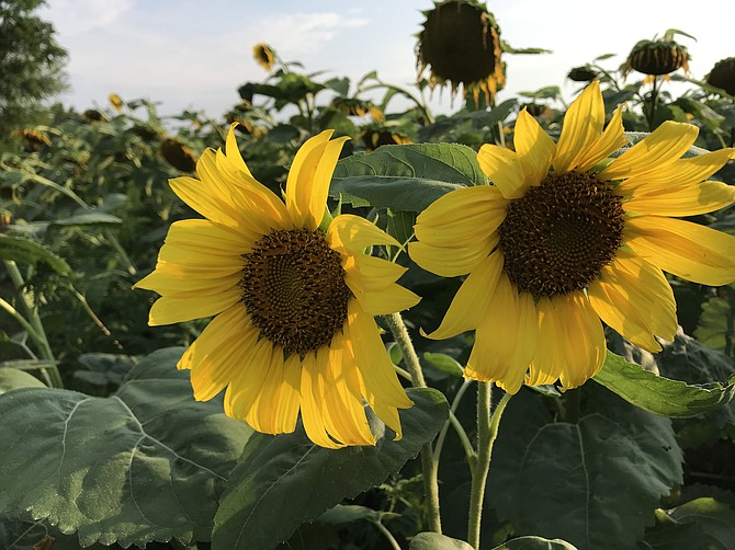 Sunflowers are in peak bloom right now.