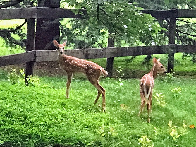 Deer by the roadside: Saturday, Sept. 8, marks the start of the Fairfax County 2018-2019 Deer Management Program.