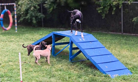 Top the Great Dane comes out  on top during a playgroup session. Top overcame his fears, partly as a result of such play, and was adopted.