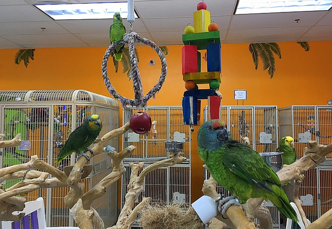 Amazon parrots playing on their gym, which includes a java tree.