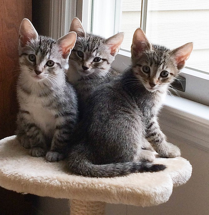 Kittens enjoy foster caregiver Jodi Horton's Springfield home before returning to the AWLA shelter for adoption.