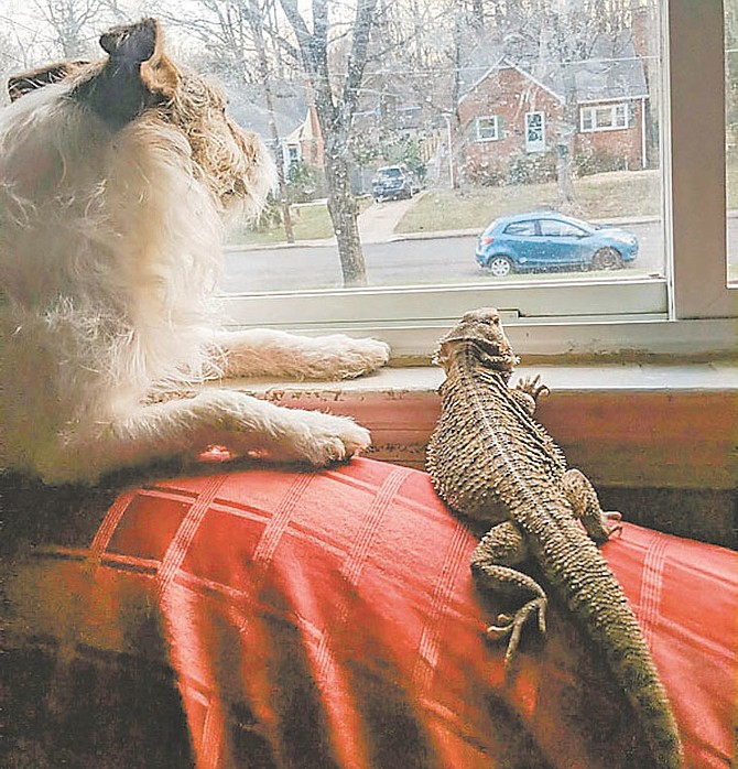 Bearded dragon Spaghetti Blueberry and her canine housemate check on what's going on outside.