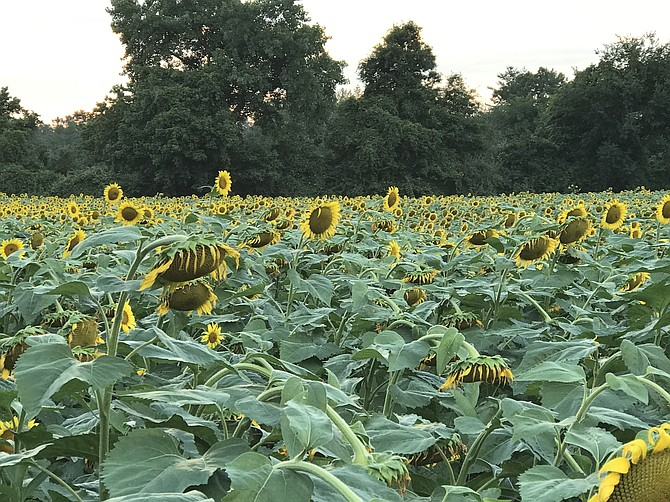 Acres of sunflowers attract birds, bees and photographers. With favorable conditions, the sunflowers will bloom in mid-July.