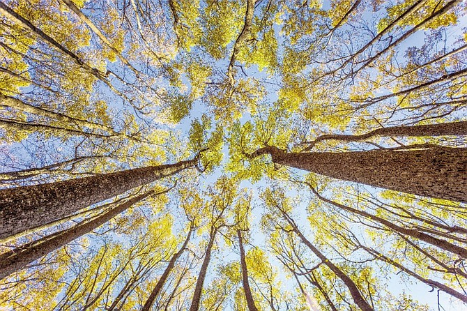 "Kalen Martin-Gross of Arlington received honorable mention in Scenic Virginia's annual Virginia Vistas Photo Contest, scenic trees category, for her photo, ""Shenandoah's Golden Poplar Grove,"" taken at Shenandoah National Park in Front Royal."