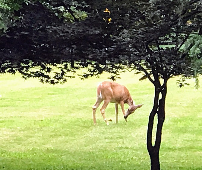 Deer grazing in August in Potomac.