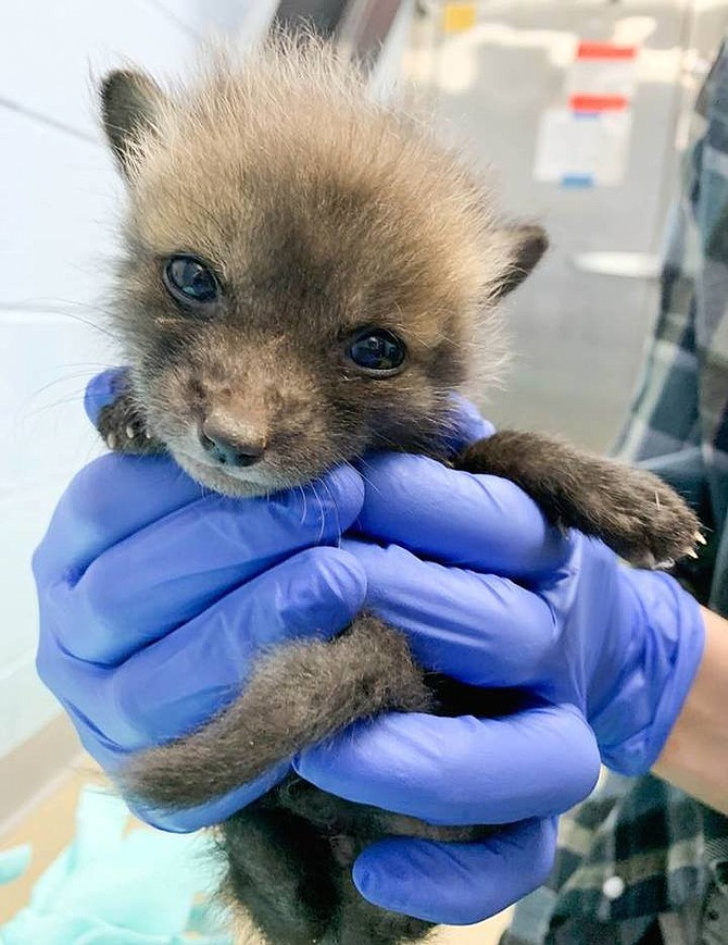 A baby fox, assisted by AWLA Animal Services. Wildlife are a key part of the ecosystem of Alexandria.
