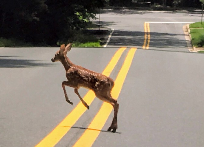 A fawn crosses the road earlier this summer.
