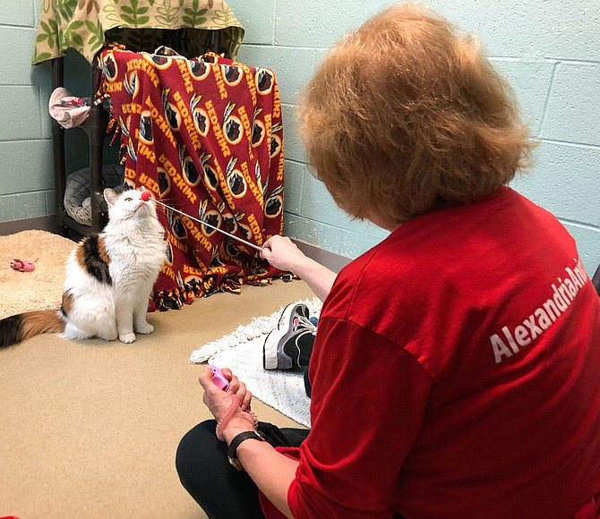 "Cookie the cat follows the little red ball in ""clicker training"" with volunteer Sandy Garlick at the Animal Welfare League of Alexandria."
