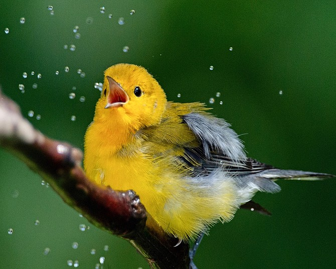 Grand prize photo by Randy Streufert (Prothonotary Warbler).