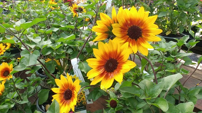 Sunflowers make great backdrops in summer gardens.