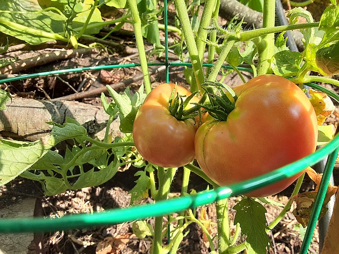 A Springfield garden has brought the Petersen family horticulture knowledge and vegetables.