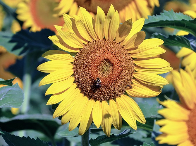 McKee Beshers Wildlife Management Area in Poolesville plants multiple fields of sunflowers each year, blooming in mid-to-late July.