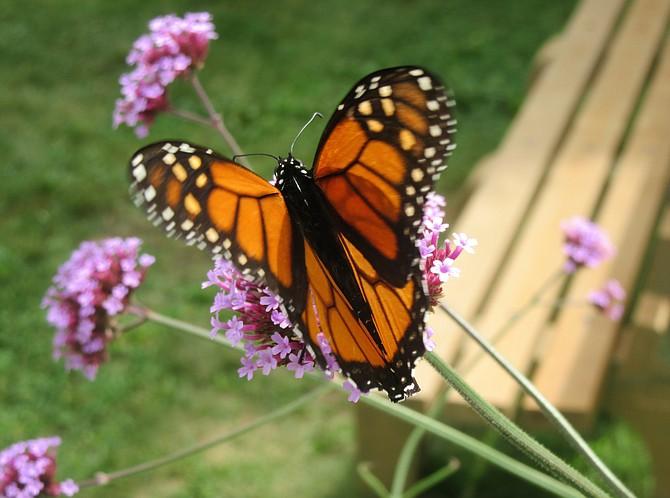 Monarch butterfly in Dyke Marsh.