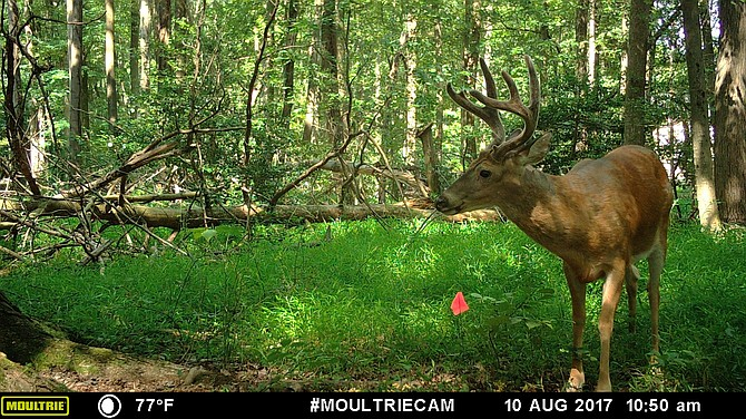 Bow hunting deer is allowed in certain areas as a deer population control measure.