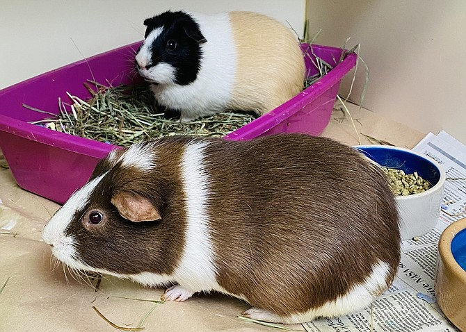 Can you guess which guinea pig is Neapolitan and which is Coffee?