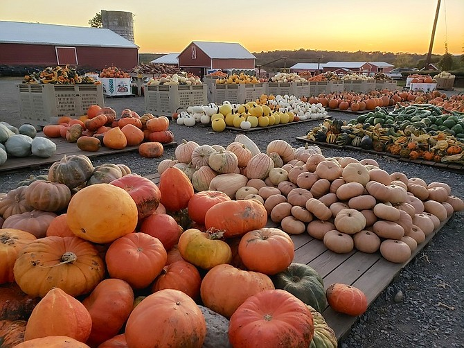 Homestead Farm, in the Agricultural Reserve, is a major destination this time of year.