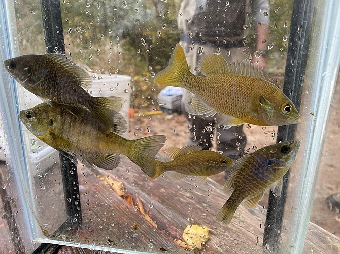 The genus of Lepomis includes several species of Sunfish; fish held here in special narrow tank for identification then released.