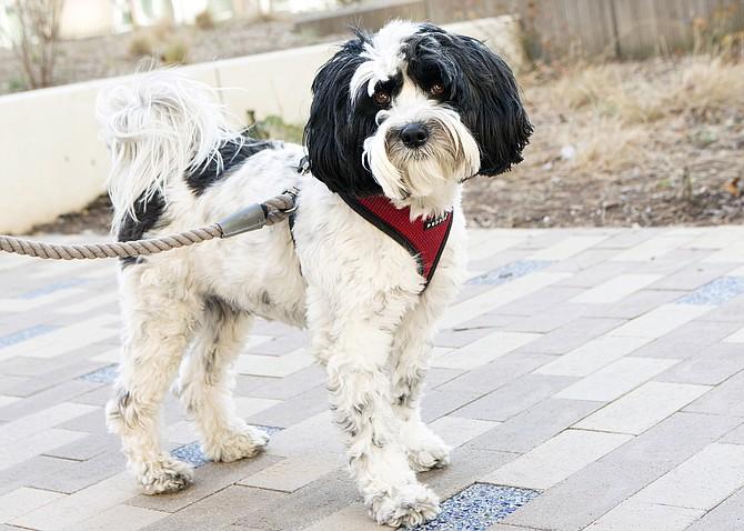 Tashi, a Tibetan Terrier, on a walk-about in Ballston.