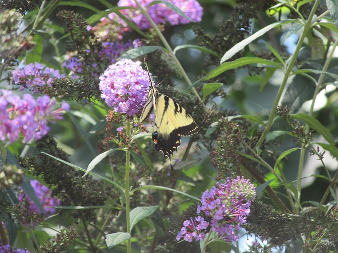 A tiger swallowtail butterfly in an Alexandria native plant garden.