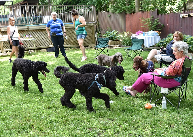 From left, Katherine Chang, Amy Hintosh, Laurice Attia, Kim Williams and Jan Clements and oodles of poodles at the reunion of Gabby's puppies. The poodles now live in Arlington, Falls Church, Fairfax County, Herndon and Charlottesville.