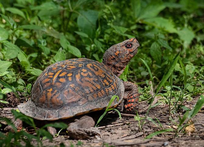 Woodland Box Turtle.