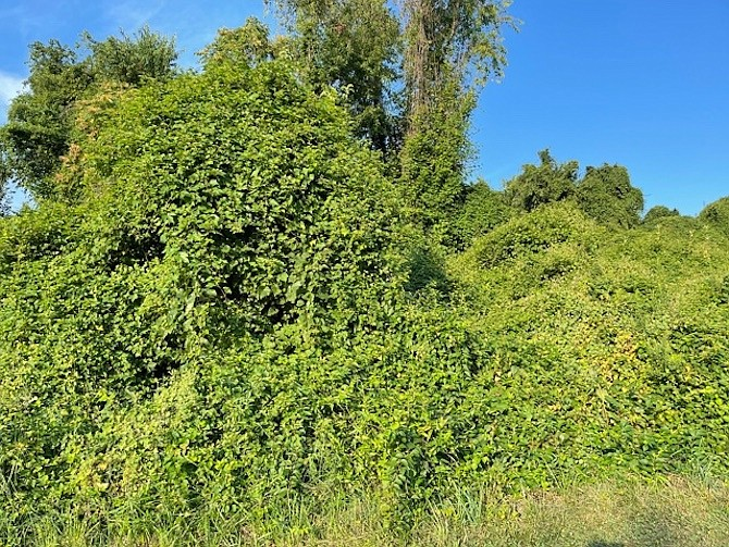 Non-native invasive vines were cleared from this mulberry tree in December 2020 by volunteer O. Alabi. … By August 2021, the same tree was reclaimed by invasive vines. Without determined vine removal efforts this and many native trees would die. Its fruit is a valuable food source to foxes, raccoons, squirrels, and several varieties of birds.